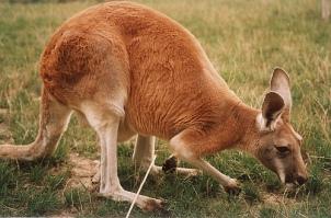 kangur-rudy-drs